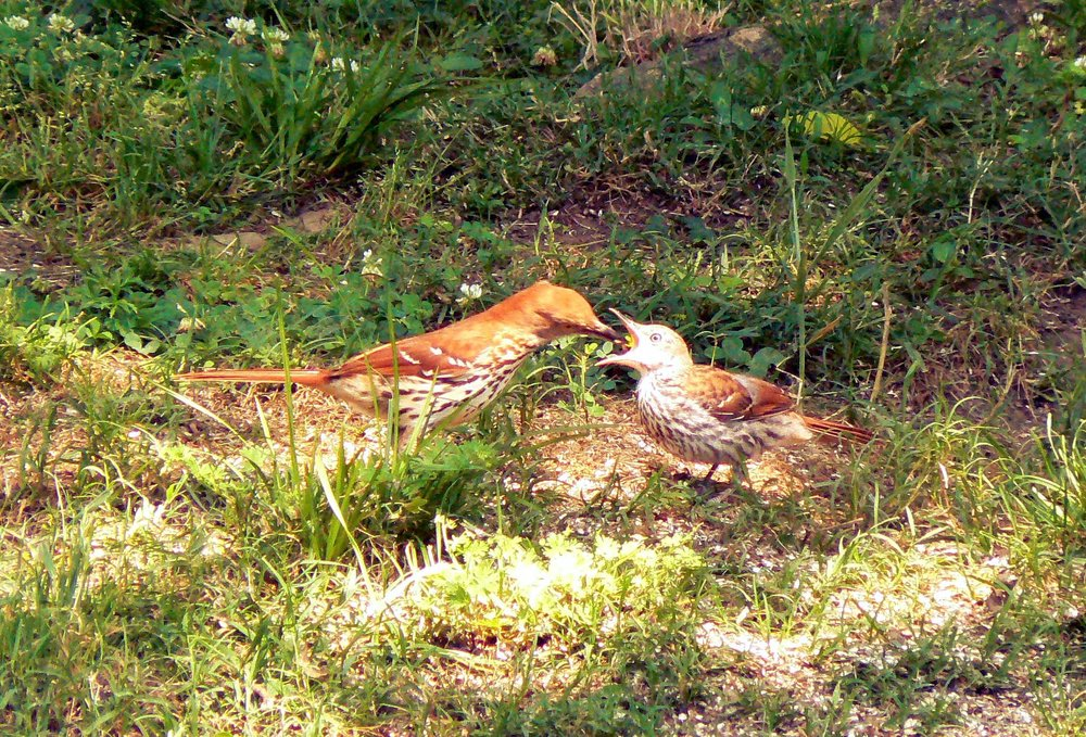 Brown Thrasher Feeding Young. Photo by Jerry Harms.