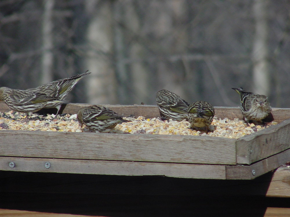 Pine Siskin. Photo By John C.