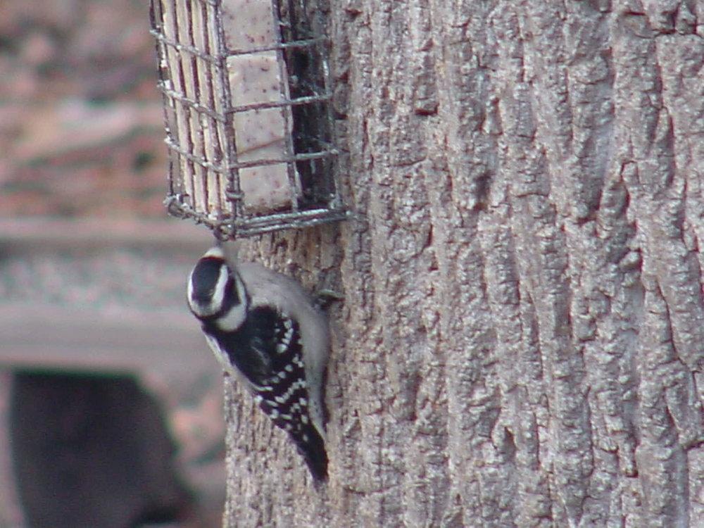 Downy Woodpecker. Photo By John C.