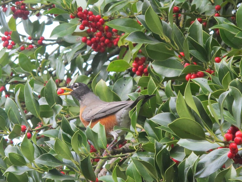 Robin Feeding on Holly Berries. Photo by Jesse Laney.