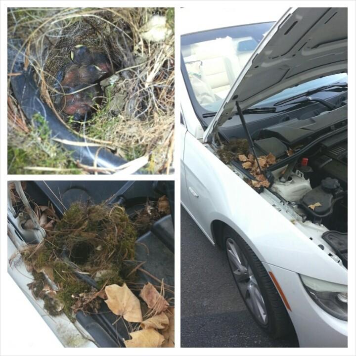 Carolina Wren nest under hood of car by Jamie Bacon