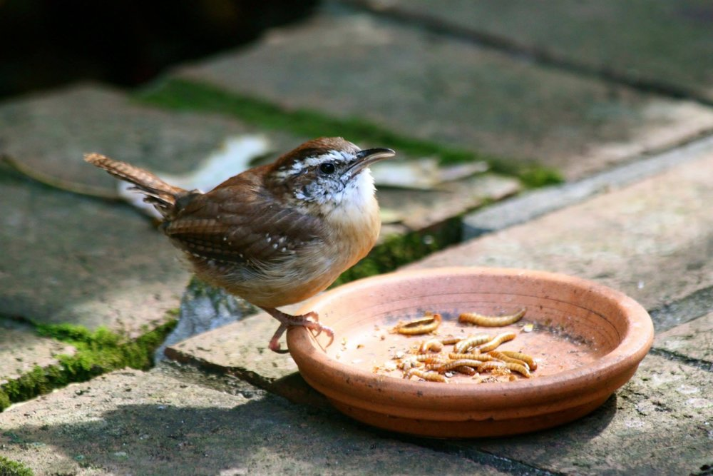Hoppy the one legged wren