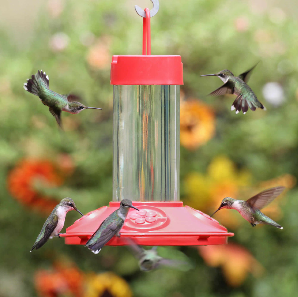 Ruby Throated Hummingbirds on DR JB's clean feeder