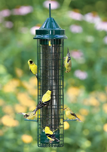 Males and females on the squirrel proof Squirrel Buster Finch.