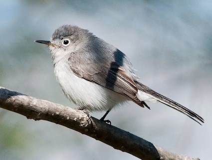 Blue-gray Gnatcatcher2.jpg