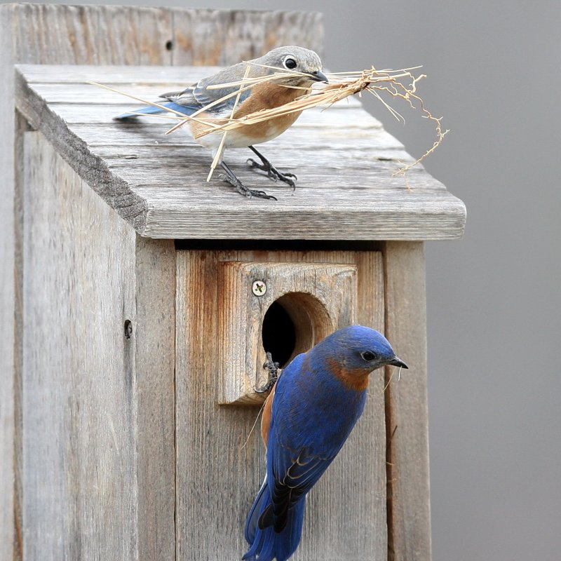 Female & male bluebird building nest.