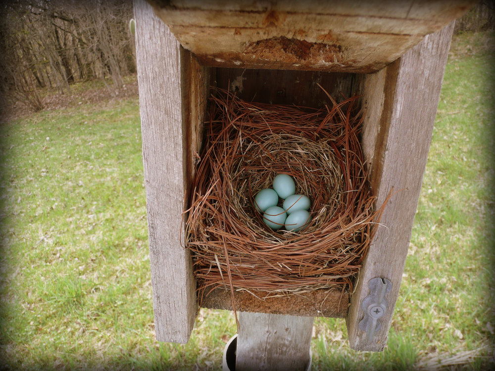 Bluebird nests mainly consist of dried grasses. Dried pine needles are seen often too.