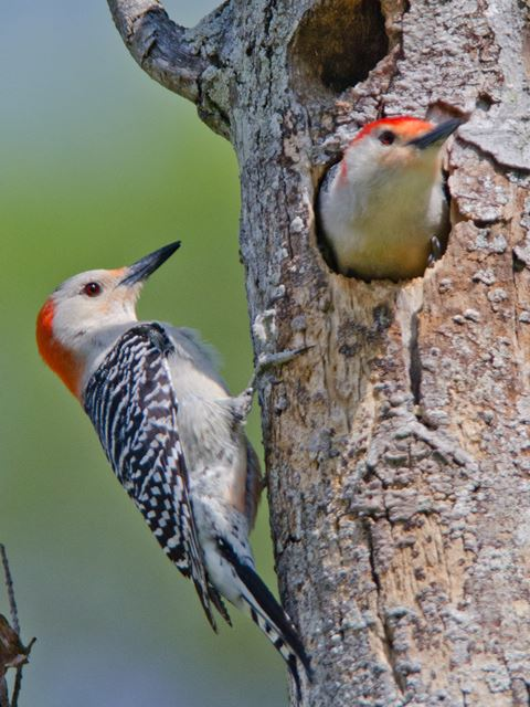 Standing dead tree sections are a great way to attract Red-bellies in the nesting season.