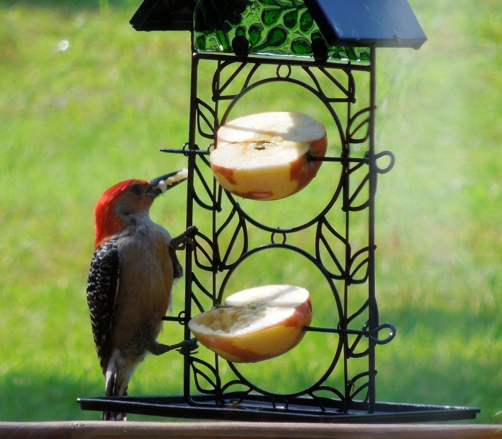 Male red-bellied on a fresh fruit feeder.