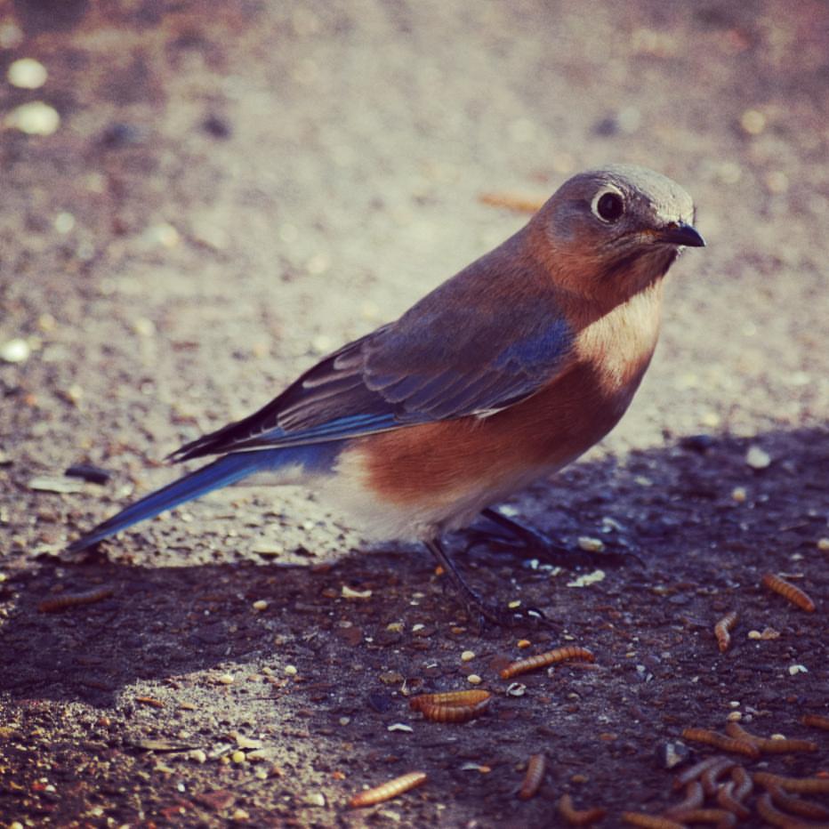 Eli bluebird instagramed.JPG