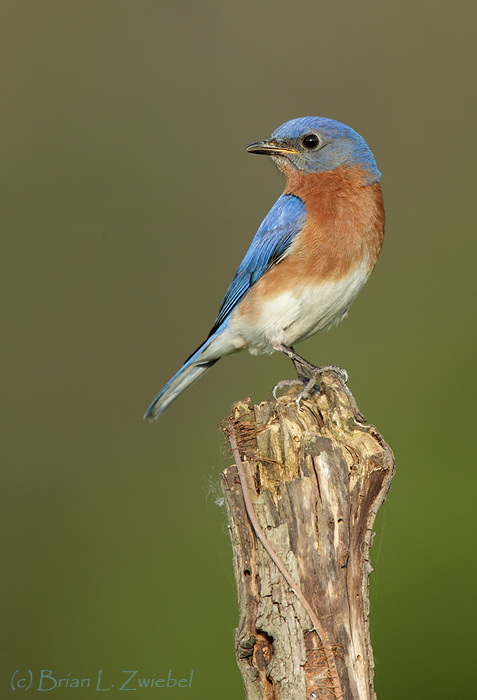 Eastern Bluebird Male_ZM46840-Lucas County Ohio May 2010.jpg