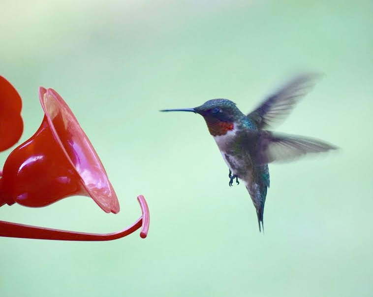 Male Ruby-thoated Hummingbird.