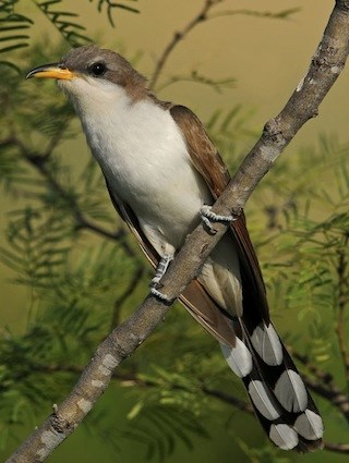 yellow billed cuckoo.jpg