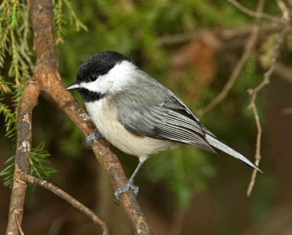 carolina_chickadee_7.jpg