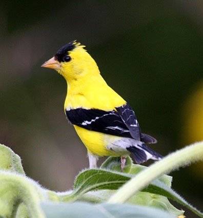 american_goldfinch_112.jpg