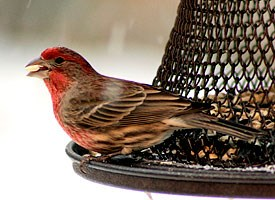 house_finch_glamour.jpg