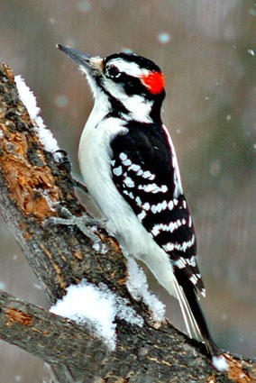 hairy_woodpecker_5.jpg