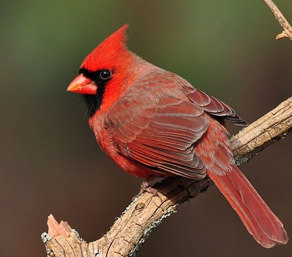 northern_cardinal_1.jpg