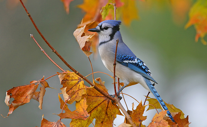 fall bluejay.jpg