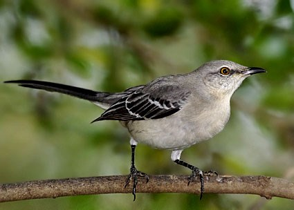 northern_mockingbird_3.jpg