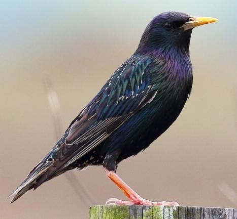 Adult Europian Starling