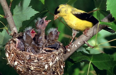goldfinch american feeding young.jpg
