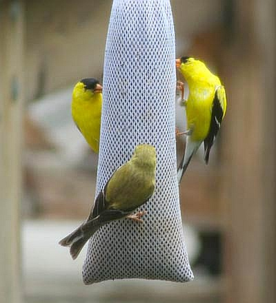 Nyjer sock feeders are the most affordable way to feed goldfinch.