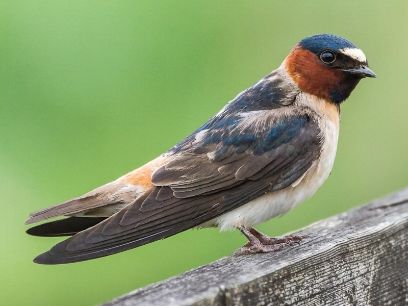 aab cliff swallow.jpg