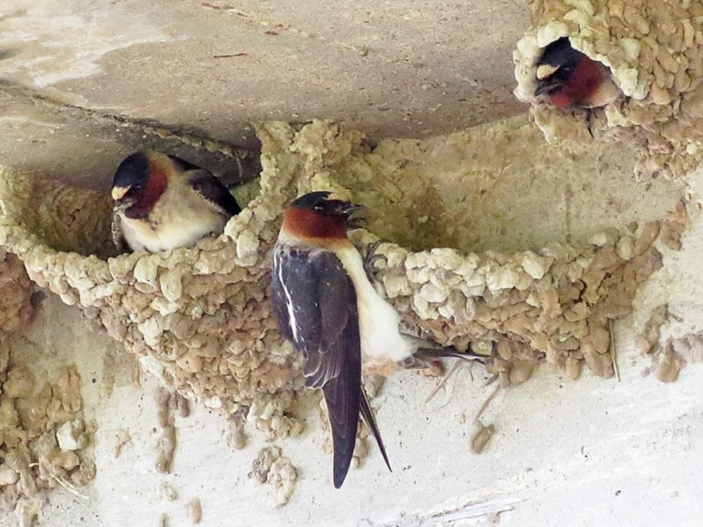 aab cliff swallow2.jpg