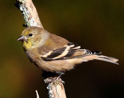 Goldfinch in winter plumage.
