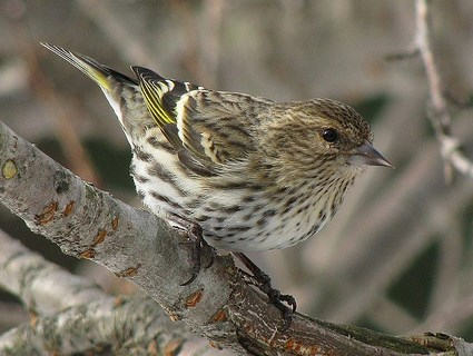 Pine Siskin can mix with goldfinch through the winter months.