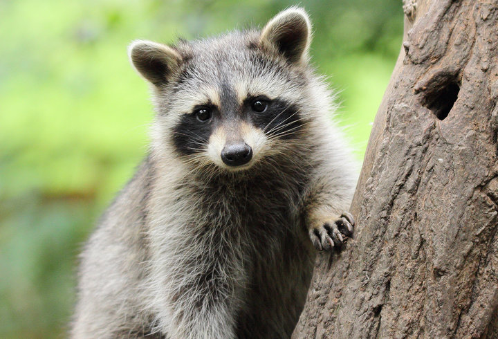 Click on the picture to read more on raccoons from Tennessee watchable wildlife.