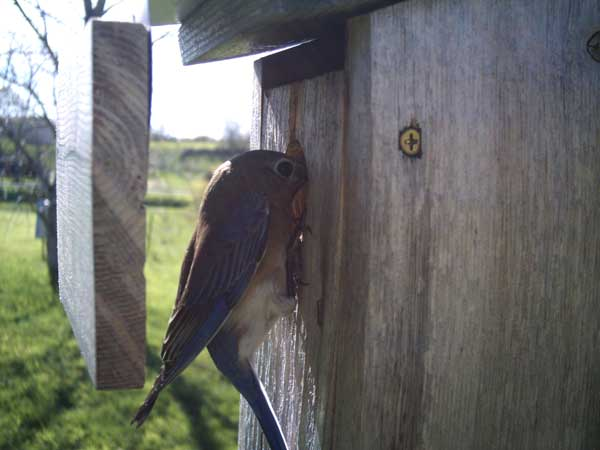 Bluebird using box with wren guard.