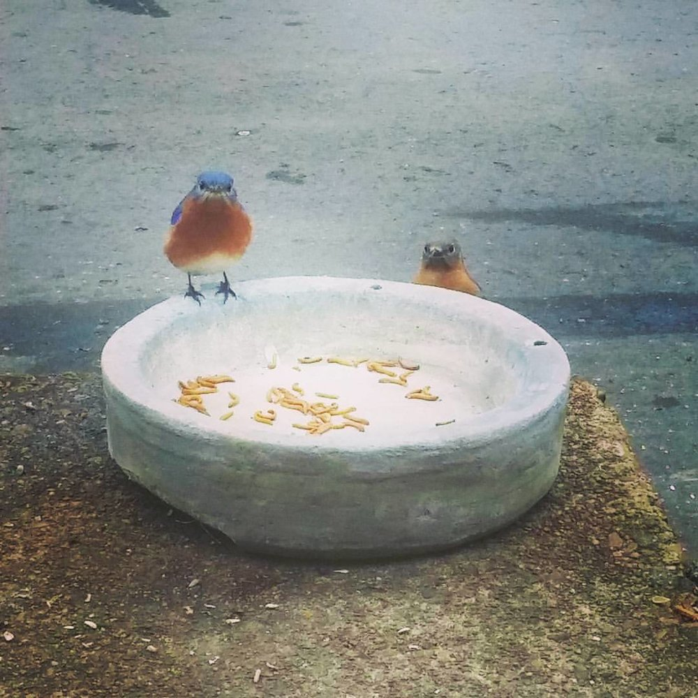 Bluebirds on meal worms.jpg