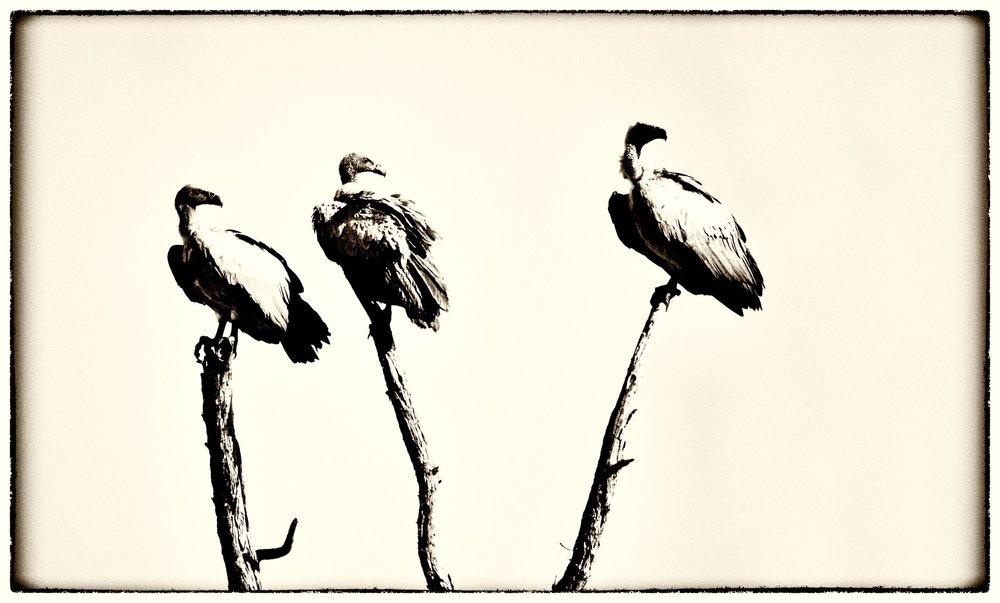 Vultures .jpg