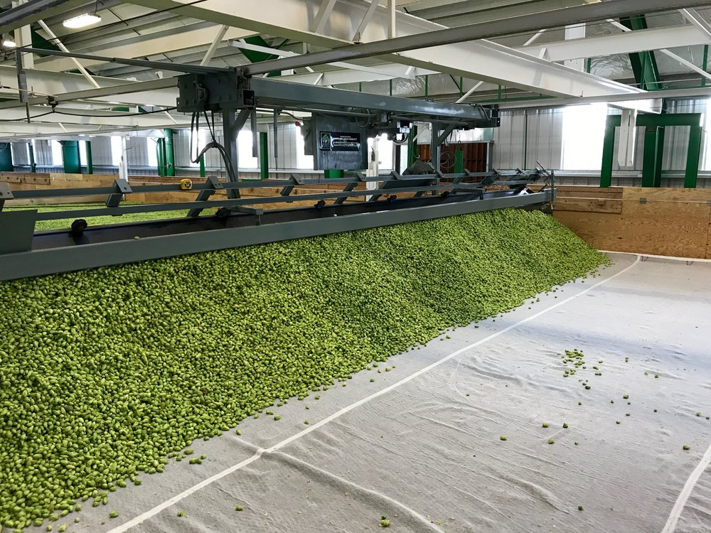 Hops are being dried by a kiln.