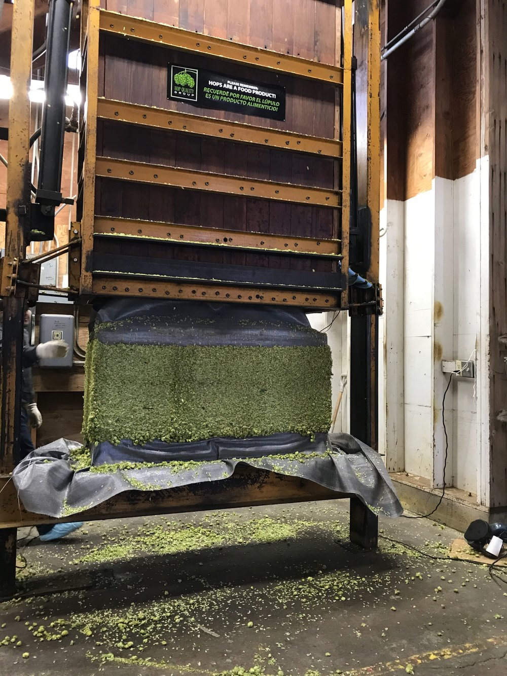Hops getting compacted into 200 pound bales. Then formed into a bag.