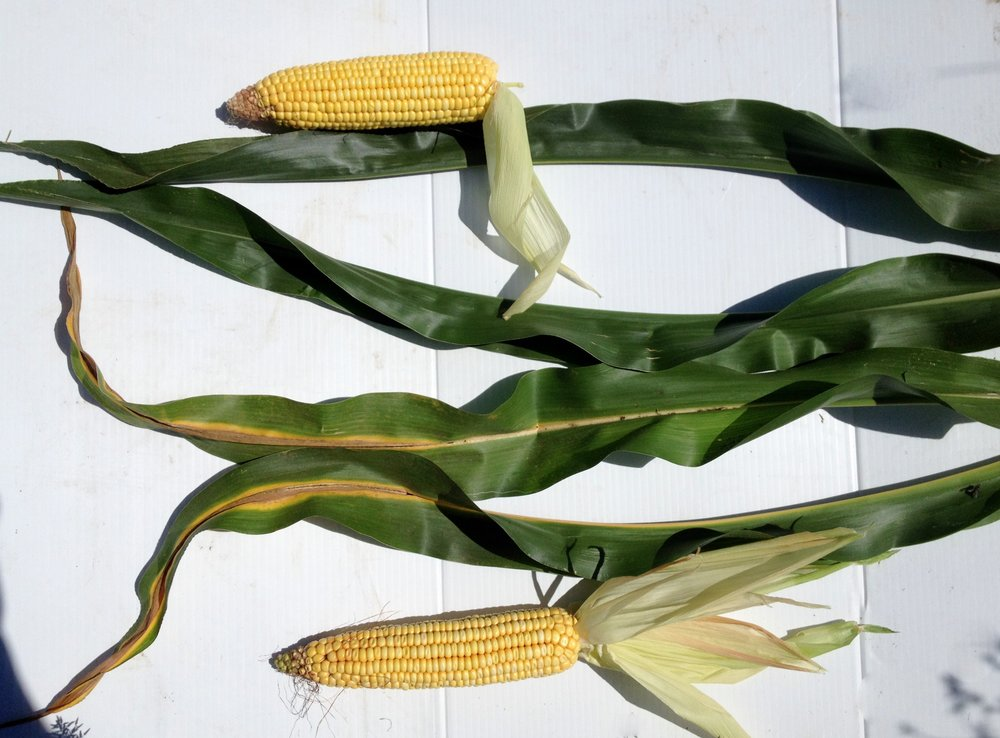 Check out the vibrant yellow corn (top) grown in biosolids enhanced soils
