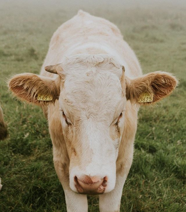 Our Irish cream is made fresh, it typically only takes 48 hours from cow to bottle! #mollysirishcream #funfacts  #irishcream #liqueur #cocktails #drinks #bartender #irish #ireland #love #friends