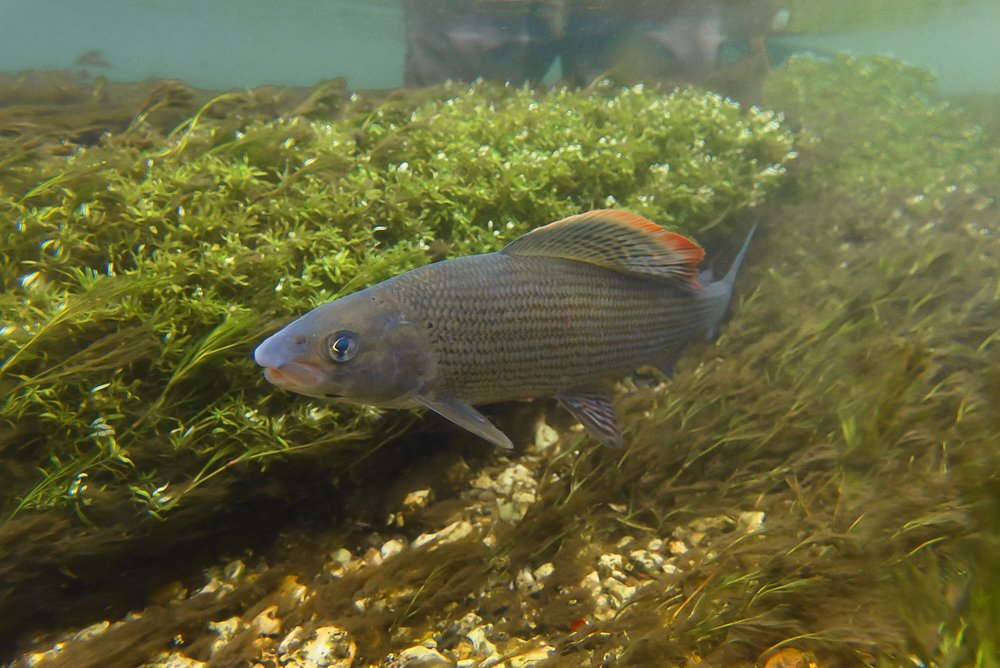 River Test    AUTUMN GRAYLING     WATCH NOW