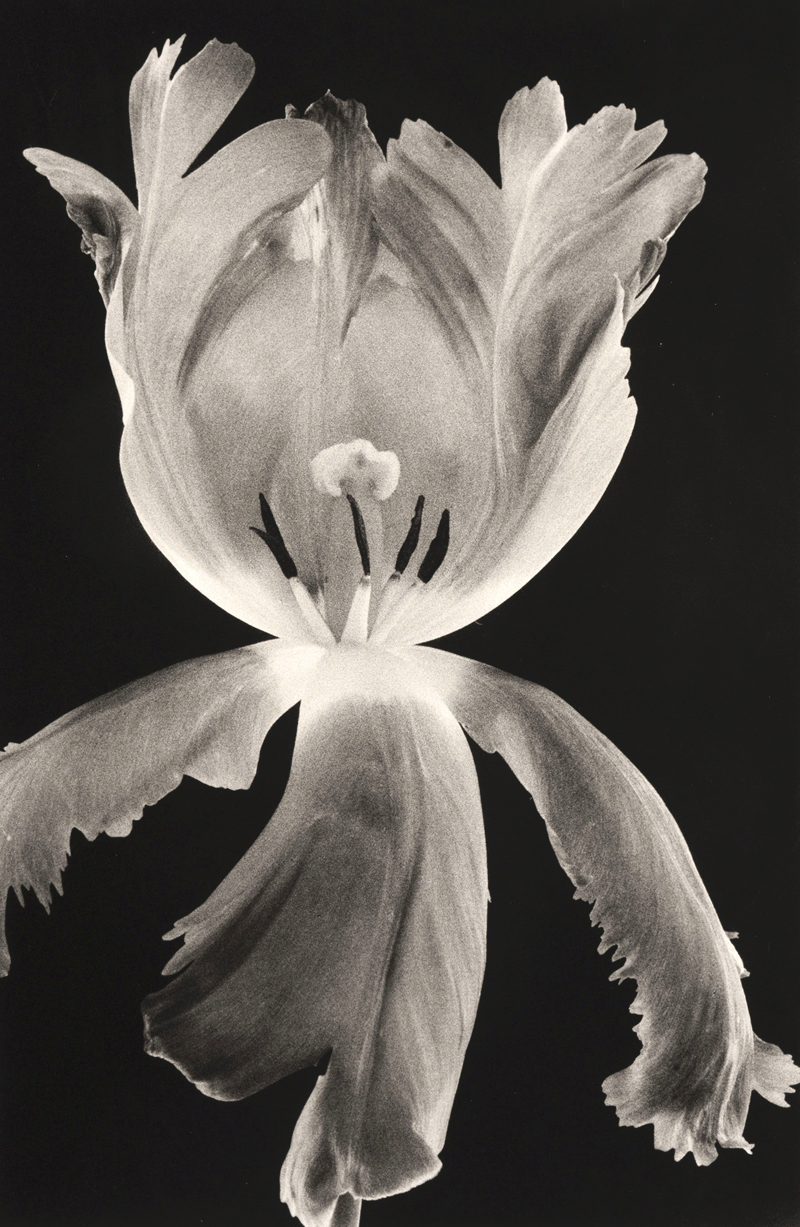 Parrot Tulip 5,  Silver Gelatin Print (Edition of 2), 40 x 50 cm, £2750.