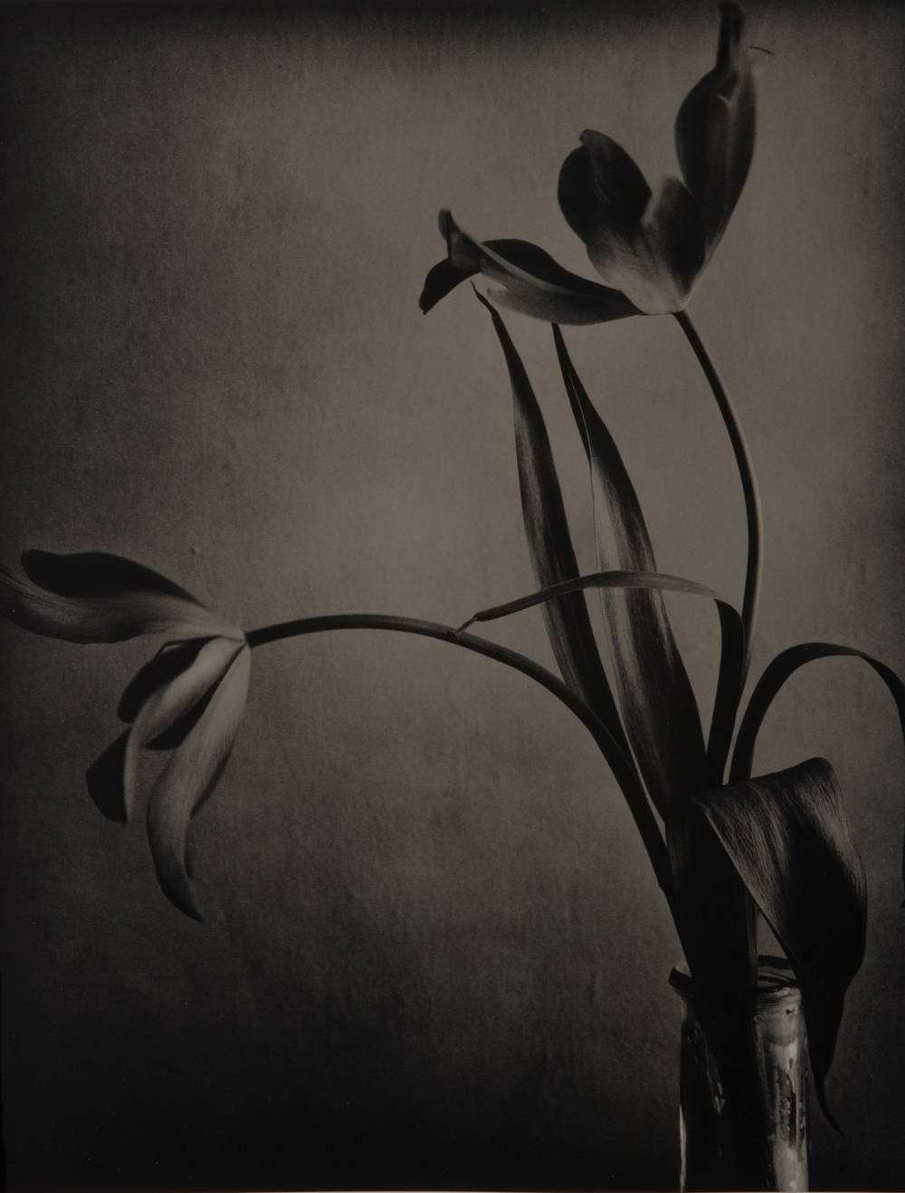 Goblet Tulips 1,  Silver Gelatin Print (Edition of 2), 40 x 50 cm, £2750.