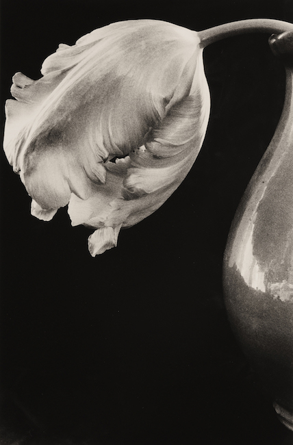 Parrot Tulip,  Silver Gelatin Print (Edition of 2), 40 x 50 cm, £2750.
