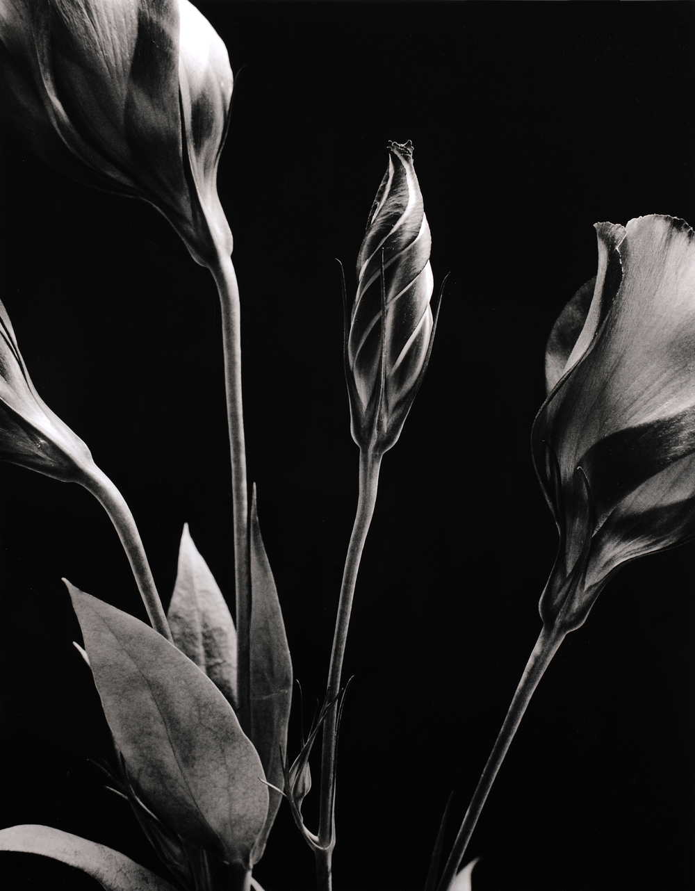 Isianthus 2,  Silver Gelatin Print (Edition of 2), 40 x 50 cm, £2750.