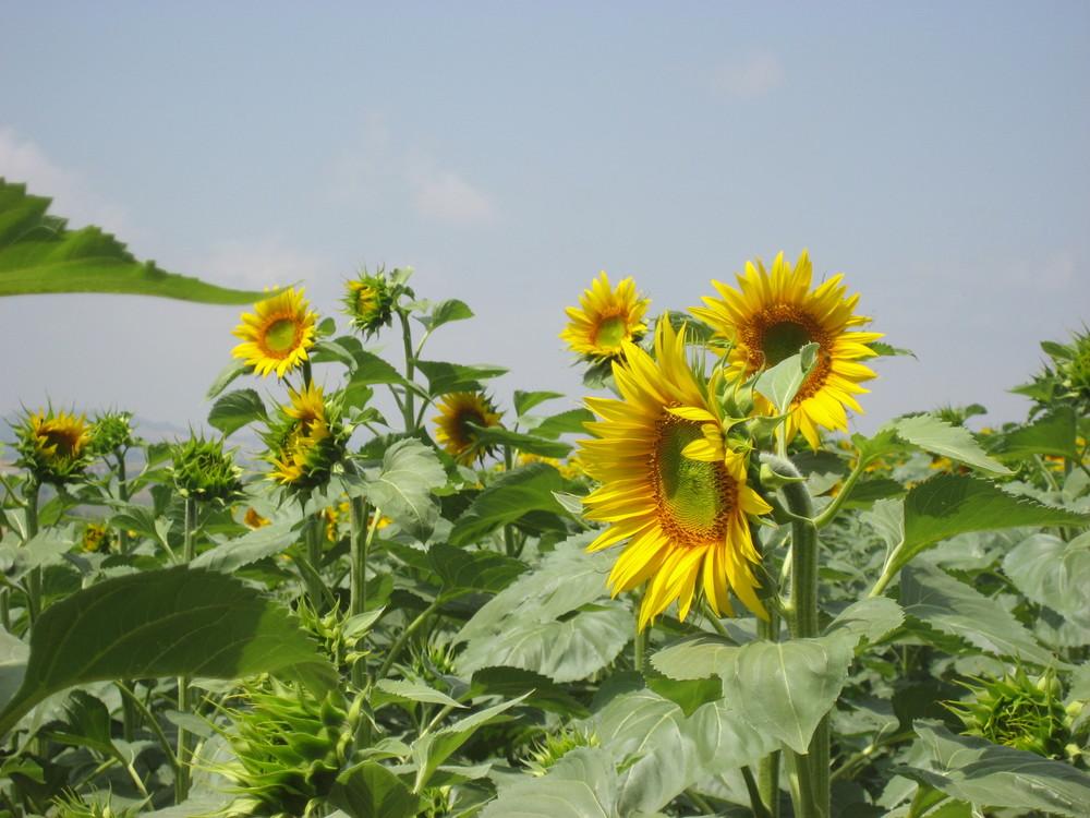 Sunflowers, Prices tab.JPG