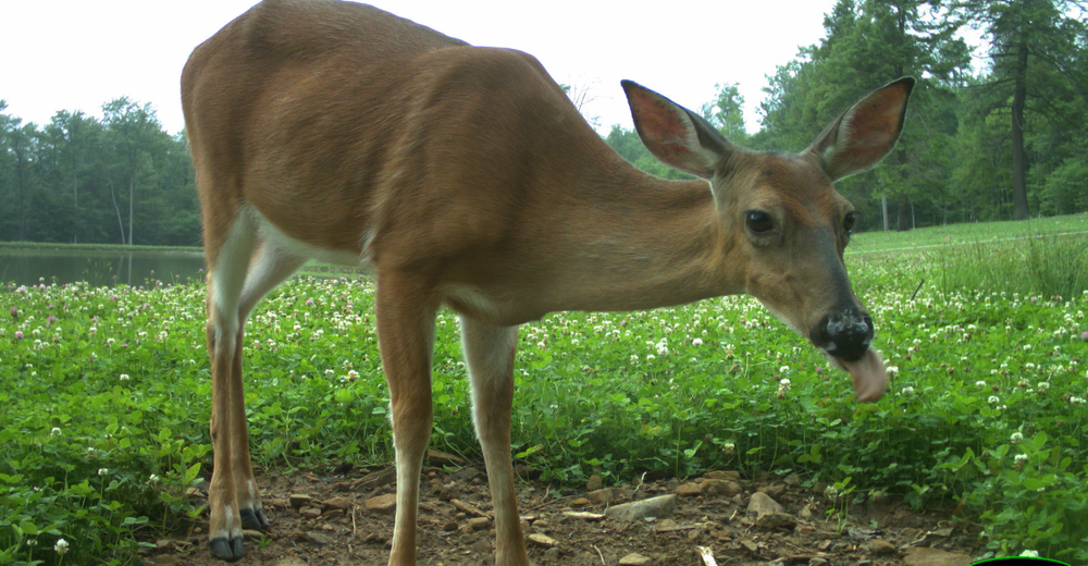 6.18.15_Doe_licking.png