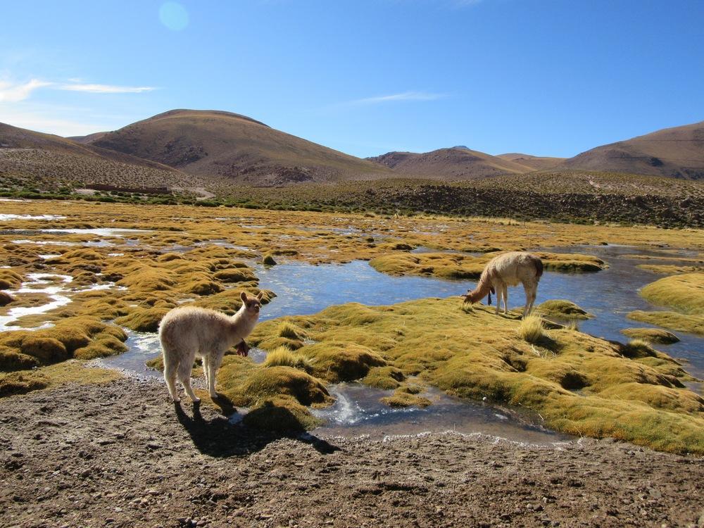 llamas grazing near the village of Tocoñao
