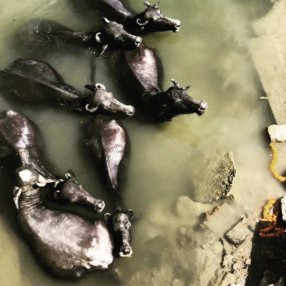 water buffalo in Varanasi