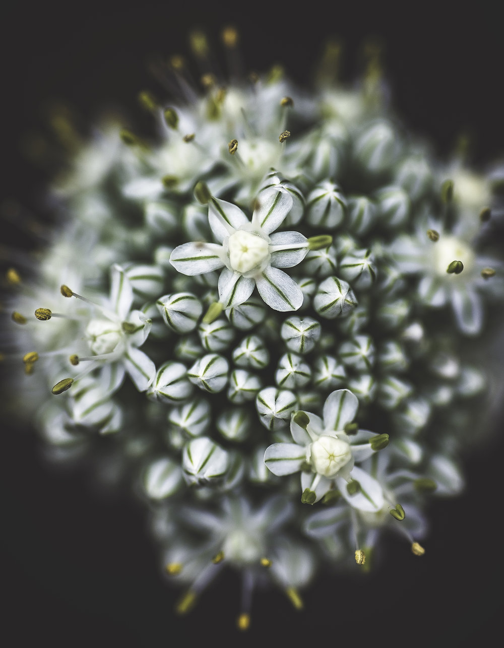 My onion flower image - this was my very first feature!