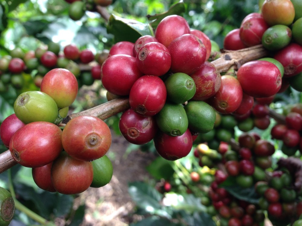 """Sustainability"" has become a widely and, often, loosely used word in recent years, not only in the coffee industry, but among businesses, large and small worldwide. -"